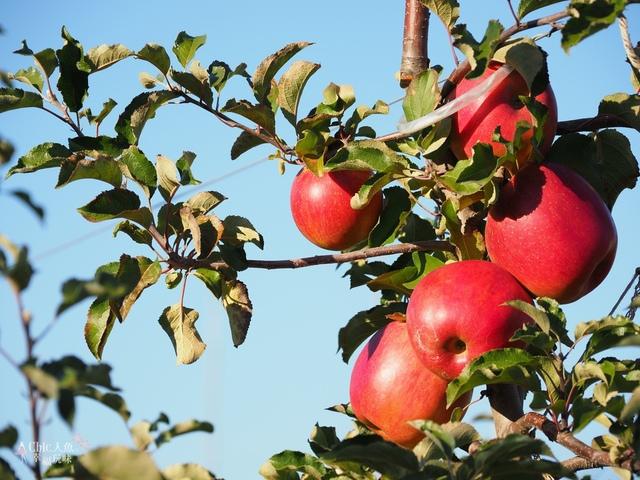 長野松川市東印平林農園採蘋果體驗 (142).jpg - 長野安曇野。東印平林農園蘋果園採蘋果りんご狩り
