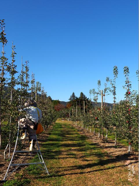 長野松川市東印平林農園採蘋果體驗 (2).jpg - 長野安曇野。東印平林農園蘋果園採蘋果りんご狩り