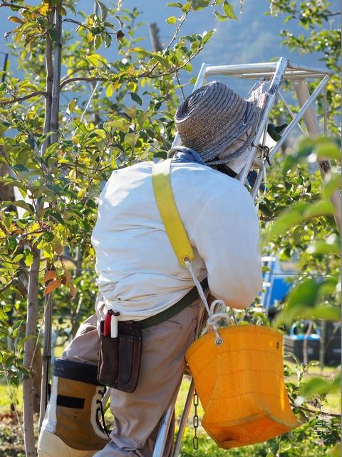 長野松川市東印平林農園採蘋果體驗 (5).jpg - 長野安曇野。東印平林農園蘋果園採蘋果りんご狩り