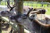 北海道道北。我在北緯45度遇見日本最北馴鹿TONAKAI牧場:北海道名寄馴鹿觀光牧場 (15).JPG