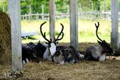 北海道道北。我在北緯45度遇見日本最北馴鹿TONAKAI牧場:北海道名寄馴鹿觀光牧場 (35).JPG