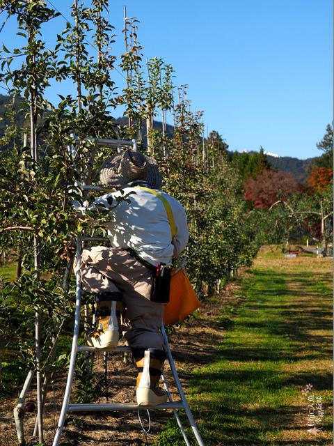 長野松川市東印平林農園採蘋果體驗 (3).jpg - 長野安曇野。東印平林農園蘋果園採蘋果りんご狩り