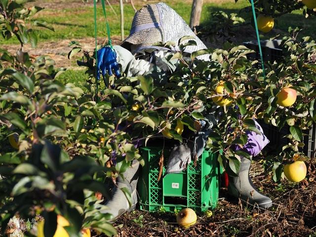 長野松川市東印平林農園採蘋果體驗 (132).jpg - 長野安曇野。東印平林農園蘋果園採蘋果りんご狩り