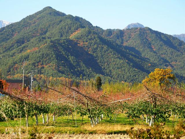 長野松川市東印平林農園採蘋果體驗 (1).jpg - 長野安曇野。東印平林農園蘋果園採蘋果りんご狩り