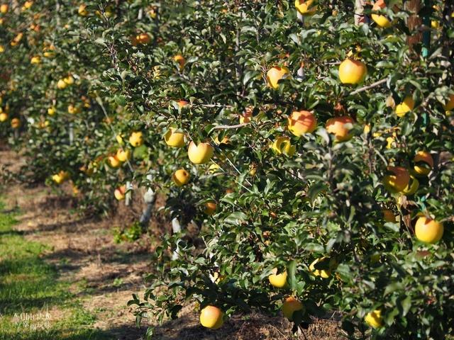 長野松川市東印平林農園採蘋果體驗 (31).jpg - 長野安曇野。東印平林農園蘋果園採蘋果りんご狩り