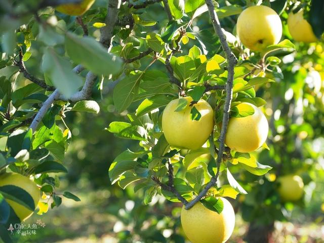 長野松川市東印平林農園採蘋果體驗 (123).jpg - 長野安曇野。東印平林農園蘋果園採蘋果りんご狩り