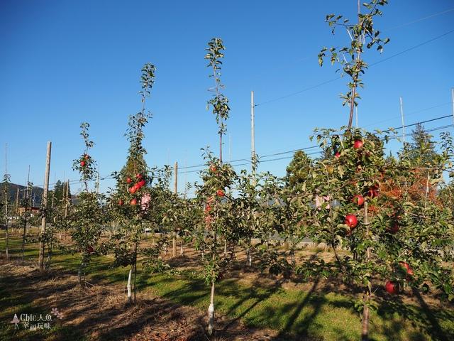 長野松川市東印平林農園採蘋果體驗 (137).jpg - 長野安曇野。東印平林農園蘋果園採蘋果りんご狩り