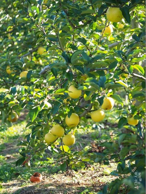 長野松川市東印平林農園採蘋果體驗 (45).jpg - 長野安曇野。東印平林農園蘋果園採蘋果りんご狩り