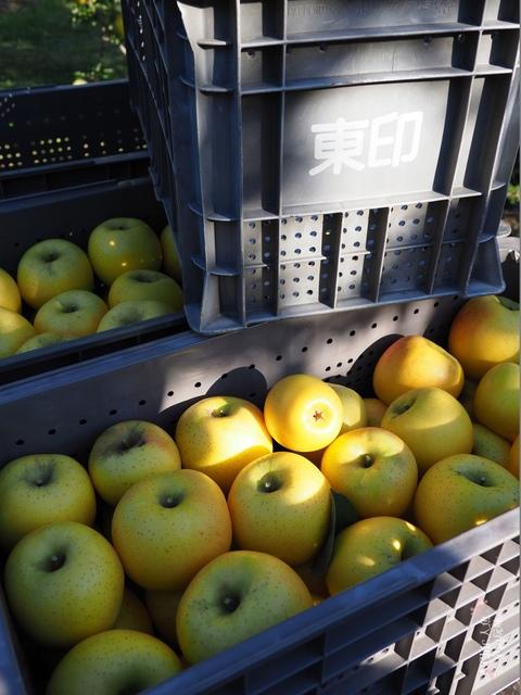 長野松川市東印平林農園採蘋果體驗 (52).jpg - 長野安曇野。東印平林農園蘋果園採蘋果りんご狩り
