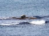 北海道道北。島旅。礼文島:金田海岬-斑海豹曬日光浴 (2).jpg