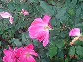 2008士林玫瑰季:1252363519.jpg
