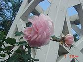 2008士林玫瑰季:1252363520.jpg