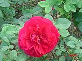 2008士林玫瑰季:1252363521.jpg