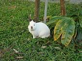 華山雲頂咖啡(2008_0120):咖啡廳裡養的可愛小白兔