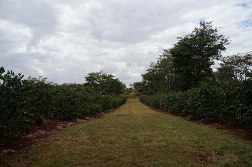 咖啡園 - 2018 0217 肯亞動物大驚奇 Day 7 - Coffee Plantatiion
