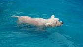 1030513~今夏第一游之 Good dog妙狗寵物游泳池:1030513-03-Good dog妙狗寵物游泳池066.jpg