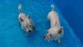 1030513~今夏第一游之 Good dog妙狗寵物游泳池:1030513-03-Good dog妙狗寵物游泳池120.jpg