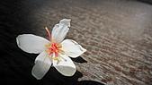 990501~土城承天禪寺 油桐花 五月雪:990501-04-土城桐花公園 五月雪028.JPG