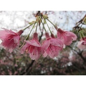1040211~原來這麼近賞櫻點之 壽山櫻花園:相簿封面