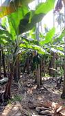 980213-980221~新春假期:990215-01-老爸香蕉園001_exposure.JPG