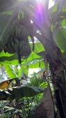 980213-980221~新春假期:990215-01-老爸香蕉園002_exposure.JPG