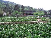970411~竹子湖海芋花海季:970411-01-竹子湖018.JPG
