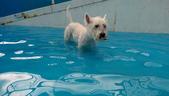 1030513~今夏第一游之 Good dog妙狗寵物游泳池:1030513-03-Good dog妙狗寵物游泳池036.jpg