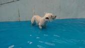 1030513~今夏第一游之 Good dog妙狗寵物游泳池:1030513-03-Good dog妙狗寵物游泳池040.jpg