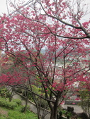 1040211~原來這麼近賞櫻點之 壽山櫻花園:1040211-03-壽山櫻花園049.JPG