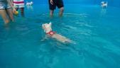 1030513~今夏第一游之 Good dog妙狗寵物游泳池:1030513-03-Good dog妙狗寵物游泳池047.jpg