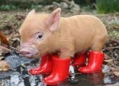 籌備中:穿雨鞋的豬