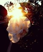 籌備中:透光玫瑰.jpg