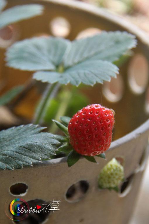 最愛小綠:草莓