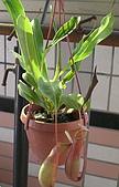 食蟲植物:豬籠草 20081018 -1.jpg