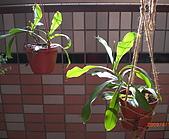 食蟲植物:豬籠草 20090411.jpg
