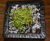 食蟲植物:IMG_0293.jpg