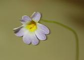 食蟲植物:報春花捕蟲堇 P. primuliflora 20090503 花.jpg