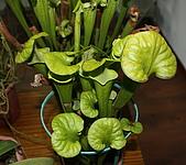 食蟲植物:IMG_0295.jpg