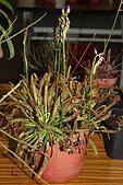 食蟲植物:IMG_0303.jpg