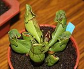 食蟲植物:IMG_0305.jpg