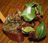 食蟲植物:IMG_0308.jpg