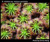 食蟲植物:D. nitidula ssp. omissa x pulchella.jpg