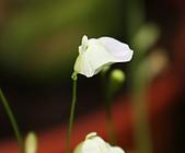 食蟲植物:IMG_0312.jpg