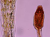 食蟲植物:Dosera 400X