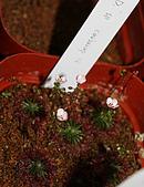 食蟲植物:IMG_0320.jpg