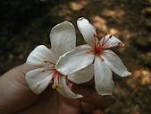 09428油桐花:IMG_0031.JPG
