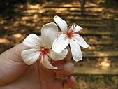 09428油桐花:IMG_0032.JPG