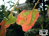 台灣原生楓樹:三角楓051202-2.jpg