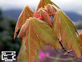 台灣原生楓樹:台灣掌葉槭040112-2-02.jpg