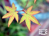 台灣原生楓樹:台灣掌葉槭040625紅邊-7.jpg
